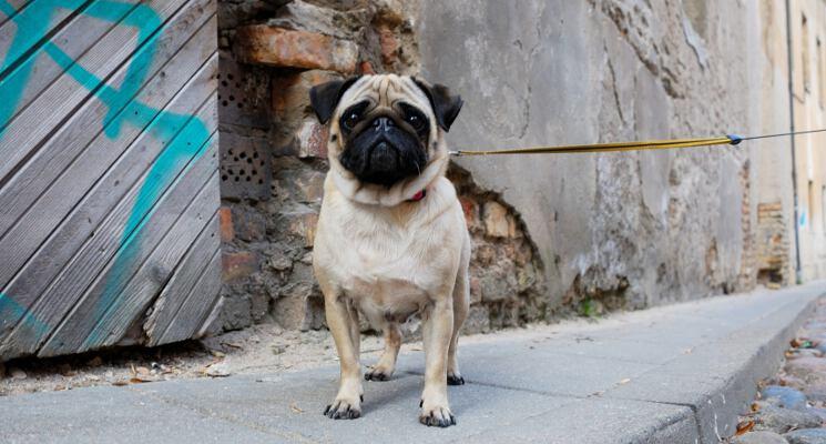 Bella mopse gatveje suniskos ekskursijos