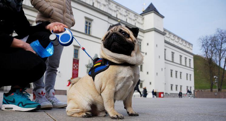 Mopsas ir valdovu rumai ekskursijos su sunimis